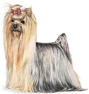 Yorkie Artwork Picture
